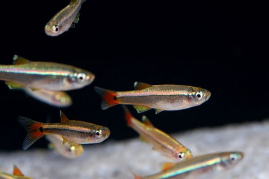 Tanichthys albonubes - XL