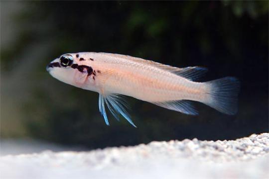 Chalinochromis brichardi 4-5.