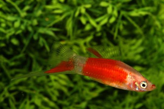 Xipho rouge et blanc - ML