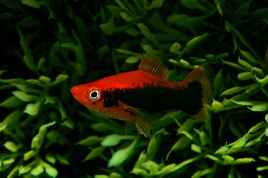 Xipho rouge tuxedo - L