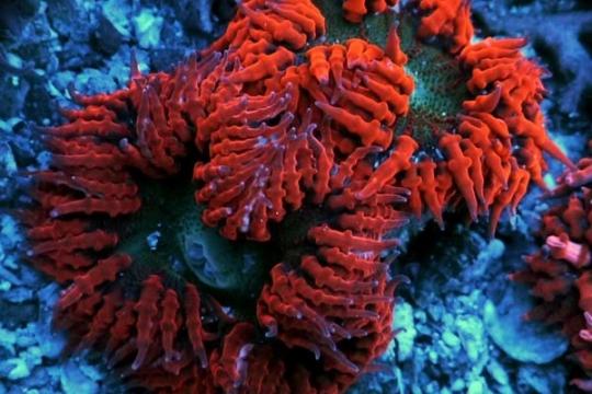 Anemone Epycystis crucifer rouge - S