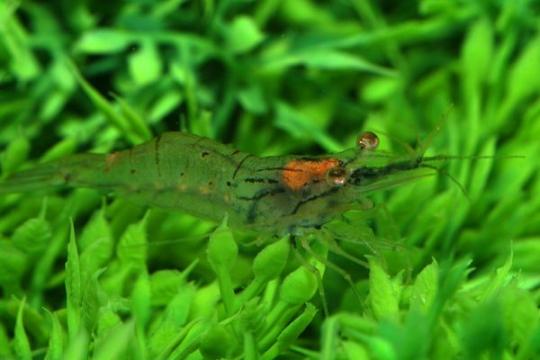 Crevette d'eau douce (sauvage) - ML