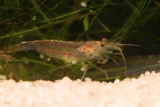 Crevette Carid. japonica - L