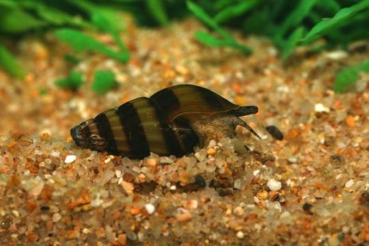 Escargot Anentome helena (prédateur escargots) - 1-2.