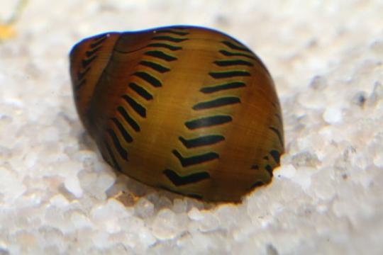 Escargot Neritina tigré - M