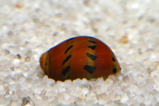 Escargot Neritina rouge - M