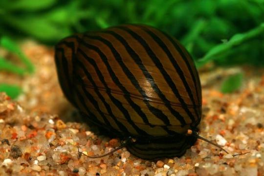 Escargot Neritina zébré - M
