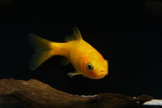 Poisson jaune - 4-7.