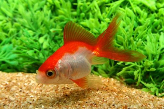 Voile japonais rouge & blanc - 5-6.
