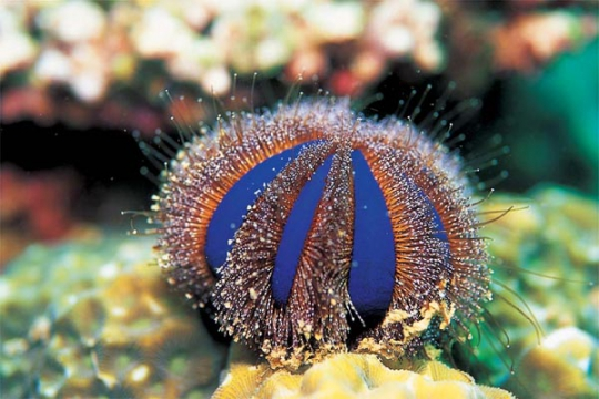 Oursin Mespilia globulus M