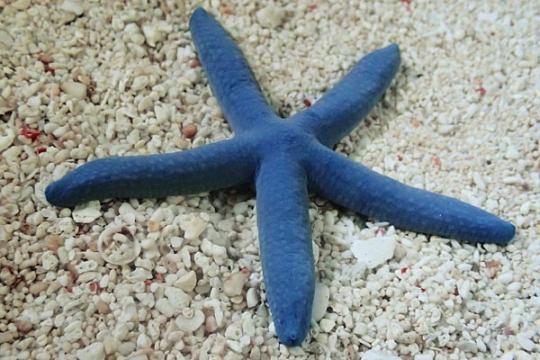 Linckia laevigata (étoile de mer bleue) L