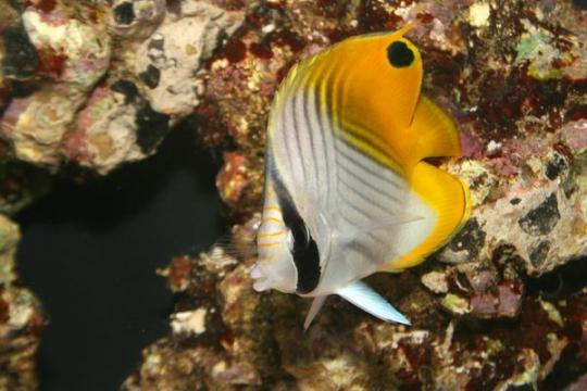 Chaetodon Auriga - ML