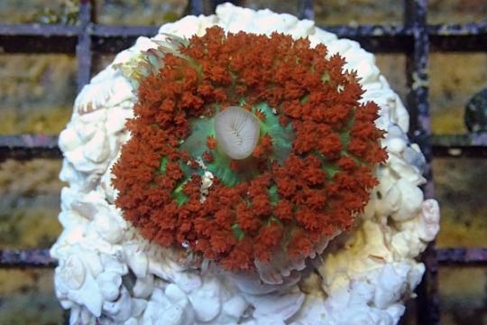 Discosoma sanctithomae rouge Le polype