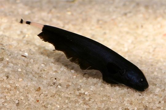 Sternachus apteronotus albifrons 5-6.