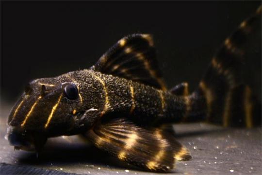 "L204 Panaqolus albivermis ""Flash Pleco"" 3-4."