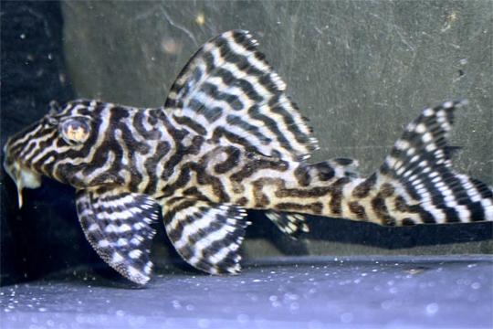 """L066 Hypancistrus sp. """"King Tiger Pleco"""" 4-6."""