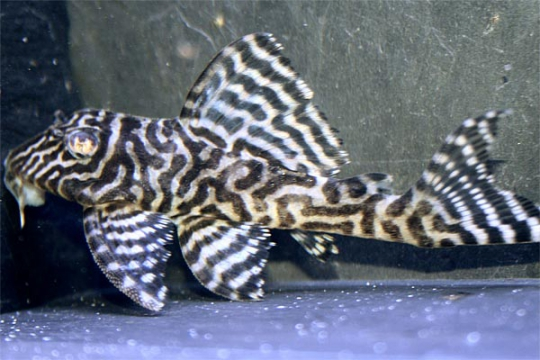 "L066 Hypancistrus sp. ""King Tiger Pleco"" 6-8 cm"