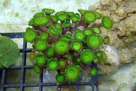 Protopalythoa sp. vert L