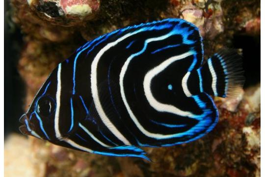 Pomacanthus Semicirculatus - 2-3