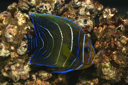 Pomacanthus Semicirculatus - 9-12