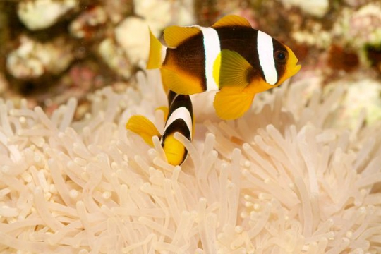 Amphiprion Clarkii elevage - 3-3,5