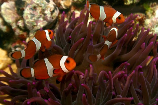 Amphiprion Ocellaris elevage - 3-4
