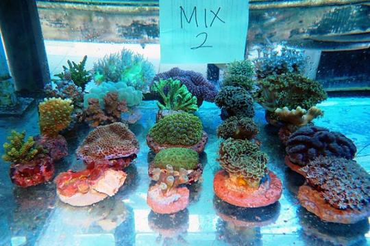 WYSIWYG BOX 2 - Coral mix 2