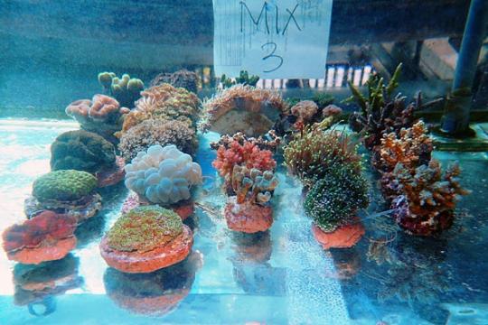 WYSIWYG BOX 3 - Coral mix 3