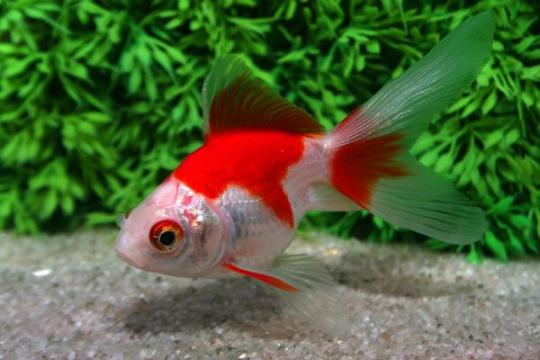 Ryukin rouge et blanc - 7-8.