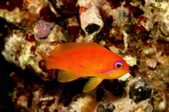 Pseud. Squamipinnis Maldives - L