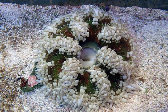 Anemone Epicystis crucifer 4-6