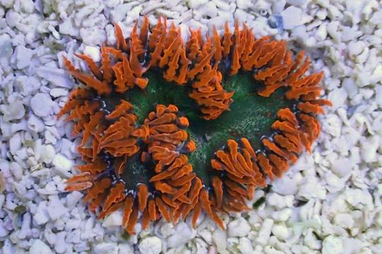 Anemone Epicystis crucifer rouge 5-8