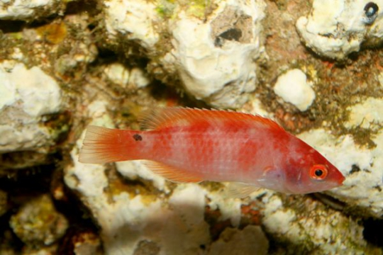 Cirrhilabrus Flavidorsalis fem.