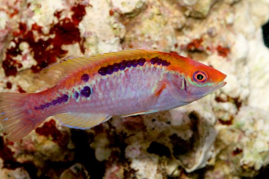 Cirrhilabrus Lubbocki mâle
