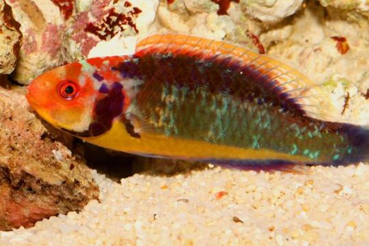 Cirrhilabrus Solorensis mâle