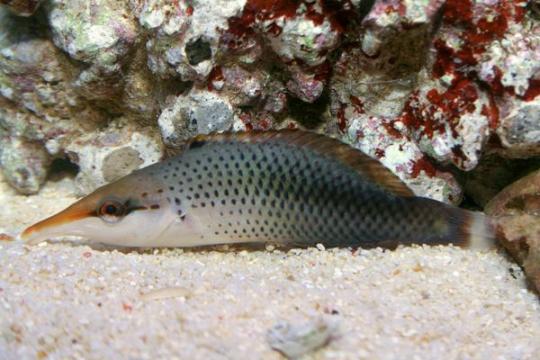 Gomphosus Coeruleus femelle