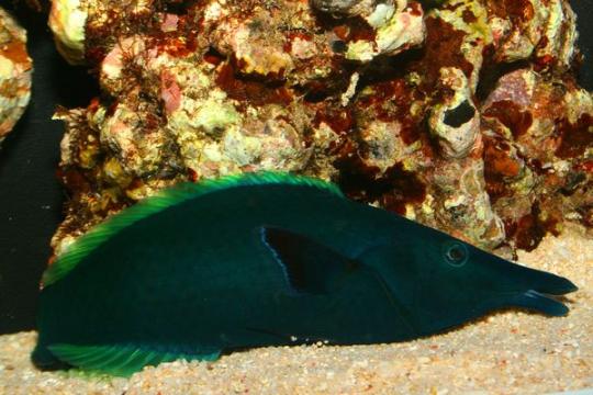 Gomphosus Coeruleus male