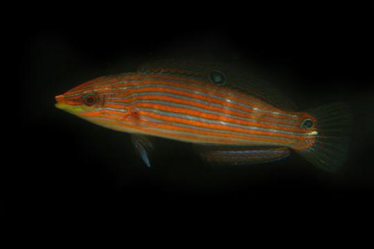 Halichoeres Melanurus