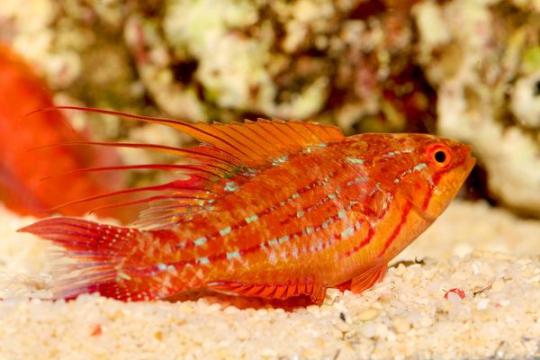 Paracheilinus Filamentosus