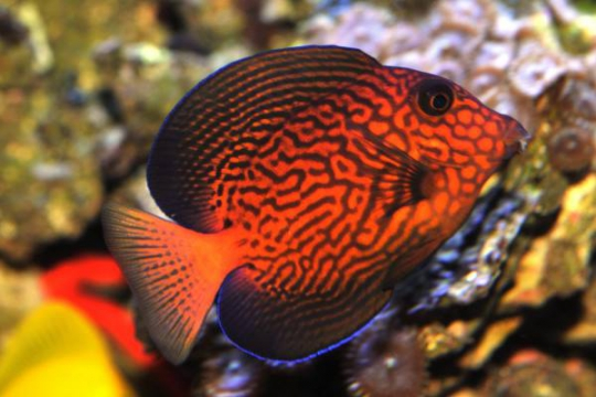 Ctenochaetus Hawaiiensis - 7-9