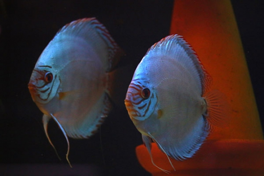 Discus Stendker Solid Turquoise 14 cm Le cpl