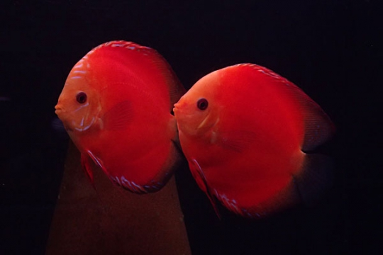 Discus Stendker Fire Red 14 cm Le cpl