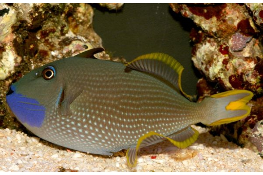 Xanthy, Auromarginatus male - L