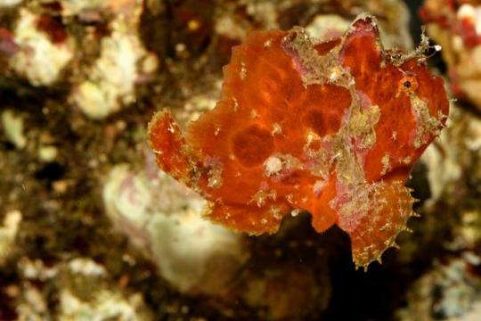 Antennarius Orange - S