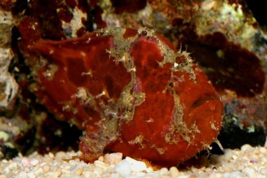 Antennarius Rouge - L