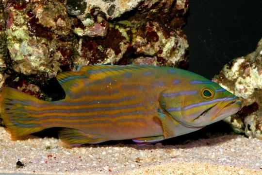 Cephalopholis Polleni - L