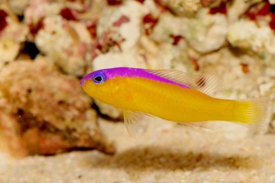 Pictichromis Diadema