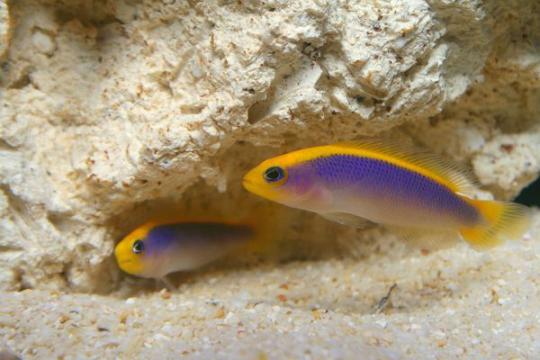 Pseudochromis Flavivertex elevage