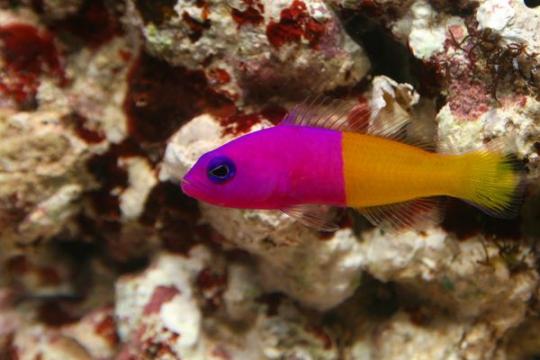 Pictichromis Pacagnallae