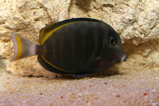 Acanthurus Glaucopareius / nigricans - 7-9